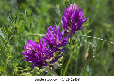 Astragalus onobrychis. Blossoming Astragalus onobrychis. Honey plant.