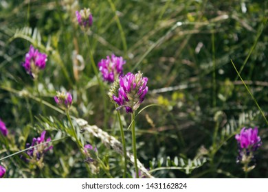 Astragalus onobrychis. Blossoming Astragalus onobrychis. Meadow plants. Wild plant.