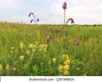 Astragalus and sage flowering bushes grow on a green summer meadow.