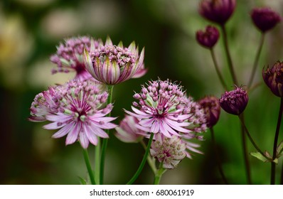 Astrantia, a favorite in English Country Cottage gardens.