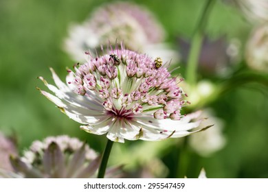 Astrantia flower with blurred flowers in the background