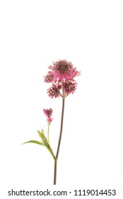 astrantia flower isolated