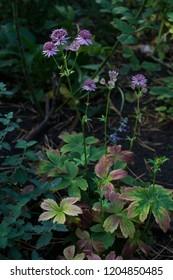 Astrantia in garden in autumn.