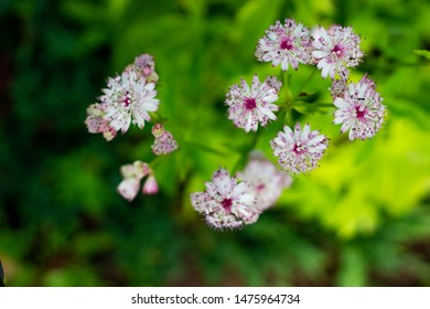 astrantia genus of herbaceous of the Umbrella family