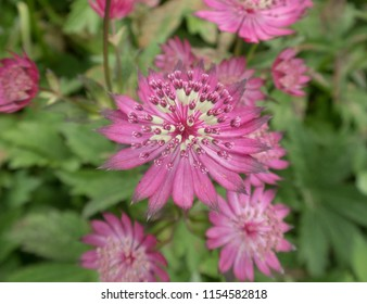 Astrantia major 'Claret' (Masterwort) in a Country Cottage Garden in Rural Devon, England, UK