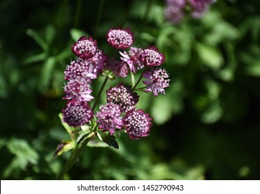Astrantia Major, common name Great Masterwort, is a species of flowering plant in the family Apiaceae.