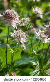 Astrantia major flowers