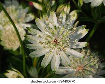 Astrantia major (great masterwort) flower in white color blooming in garden