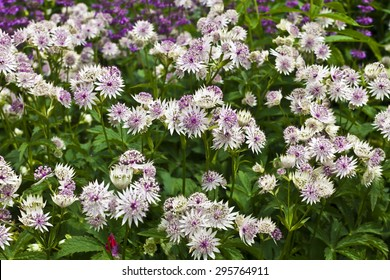 Astrantia major in a herbaceous border.