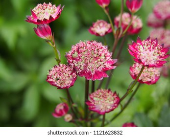 Astrantia major 'Moulin Rouge' - great masterwort