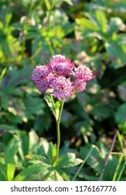 Astrantia major, an ornamental plant in a flowerbed.