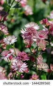 Astrantia major 'Roma' a red pink herbaceous perennial flower plant commonly