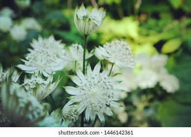 Astrantia major 'Shaggy' blooming in the sunlight
