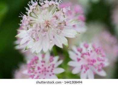 Astrantia major Shaggy flowers in pinkish white a perennial plant