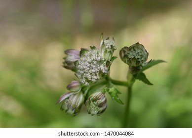Astrantia major sort Lola: Astrantia blooms in the garden in summer