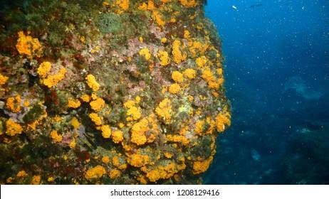 Astroides calycularis, colonial coral