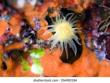 Astroides calycularis - Mediterranean Sea