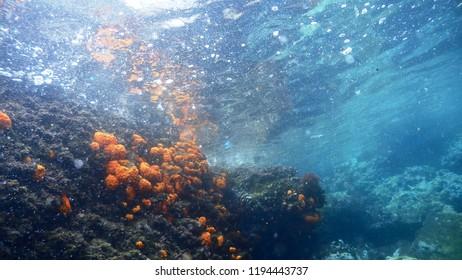 Astroides calycularis,stony cup corals