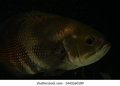 Astronotus Ocellatus, fresh water fish.