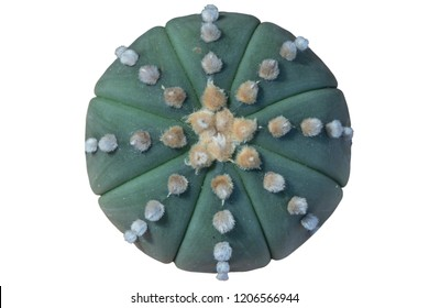 Astrophytum asterias cactus on isolate white background with clipping path.Common names include sand dollar cactus, sea urchin cactus, star cactus and star peyote.