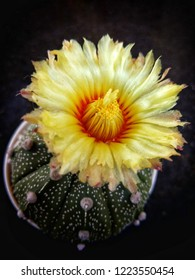 Astrophytum asterias is small, round, spineless and squat. Common names includesand dollar cactus,sea urchin cactus,star cactusandstar peyote.