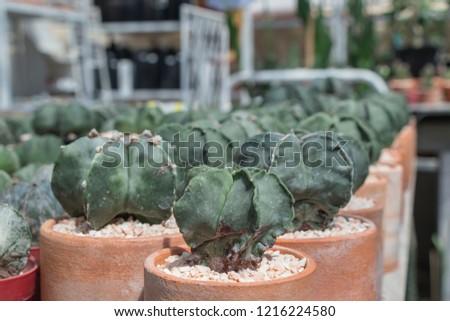 Astrophytum myriostigma cactus in the garden.(common names  bishop s cap  cactus 72e257c3906e