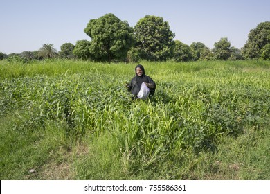 Aswan, Egypt, June 2013: A Nubian woman wearing a traditional black dress walks through the fields picking up plants leaves by the river Nile.