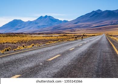 Atacama Desert, Chile. Llamas roaming free at natural habitat. I