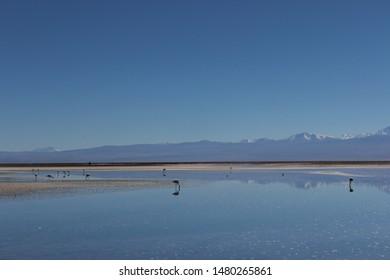 Atacama Salt Flat, the largest salt flat in the Atacama Desert, Chile, South America. Flamingos Flock standing in the blue salty lagoons under the blue sky.