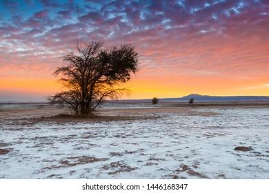 The Atacama Salt Lake (Salar de Atacama) with a Tamarugo, a native tree from the area, Atacama Desert, Chile