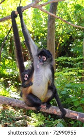 Ateles geoffroyi vellerosus Spider Monkey Central America mother and baby