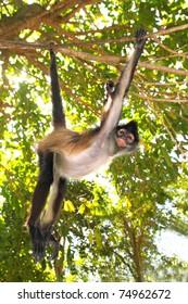 Ateles geoffroyi vellerosus Spider Monkey Central America Jungle