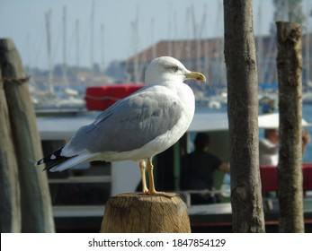 Atent seagull, watching the life, thinking