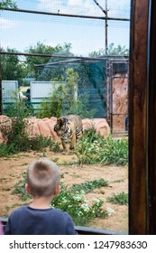 Athens, Greece/ April, 2017: A boy is watching a tiger in his safety cage in a zoo. Wild animals in captivity