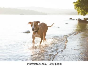 Athletic Fawn Colored Dog Running in Water