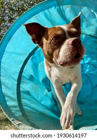 Athletic little brown and white Boston terrier emerging from the bright blue agility tunnel outside at the canine enrichment boarding and training center on a sunny day