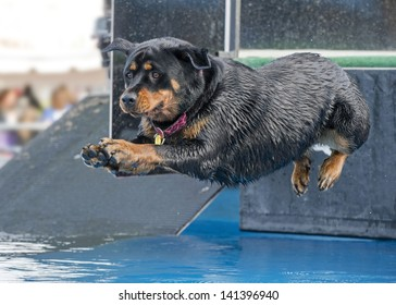 An athletic rottweiler jumps with great form into a pool for sport competition