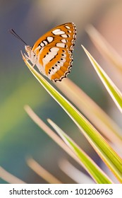Athyma perius butterfly on the top of dracaena leaf