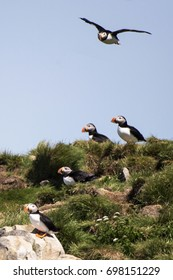 Atlanic Puffins During Nesting