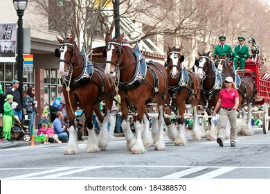 ATLANTA, GA - MARCH 15:  The famous Budweiser Clydesdales strut down Peachtree Street in the St. Patrick's parade, on March 15, 2014 in Atlanta, GA.