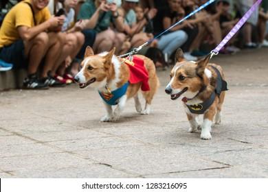 Atlanta, GA / USA - August 18 2018:  Two corgi dogs, one wearing a superman costume, the other a batman costume, walk at Doggy Con, a dog costume contest in Atlanta, GA.