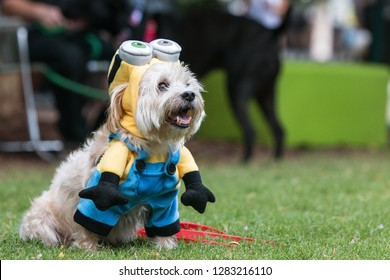 Atlanta, GA / USA - August 18 2018:  A cute dog wears a minion costume from the movie Despicable Me at Doggy Con, a dog costume contest in Woodruff Park on August 18, 2018 in Atlanta, GA.