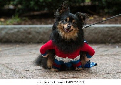 Atlanta, GA / USA - August 18, 2018:  A cute dog wearing a super hero costume has a curious expression at Doggy Con, a dog costume event at Woodruff Park in Atlanta.