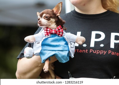 Atlanta, GA / USA - August 18, 2018:  A woman carries a small dog dressed in a doctor costume with a bowtie at Doggy Con, a dog costume contest in Woodruff Park in Atlanta.