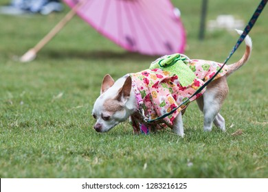 Atlanta, GA / USA - August 18, 2018:  A small dog wearing a kimono sniffs the grass at the conclusion of Doggy Con, a dog costume contest in Woodruff Park on August 18, 2018 in Atlanta, GA.