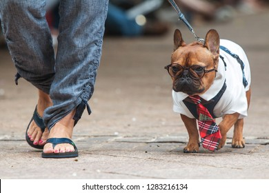 Atlanta, GA / USA - August 18, 2018:  A French Bulldog wears a Harry Potter costume, complete with round glasses, as he walks before the judges at Doggy Con, a dog costume contest in Woodruff Park.