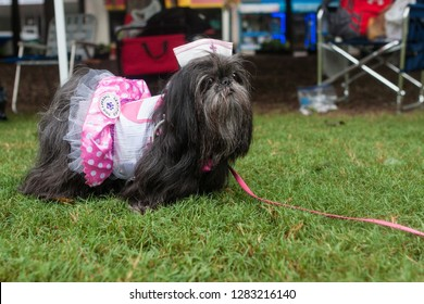 Atlanta, GA / USA - August 18, 2018:  A shih tzu wears a candy striper nurse costume at Doggy Con, a dog costume contest at Woodruff Park on August 18, 2018 in Atlanta, GA.
