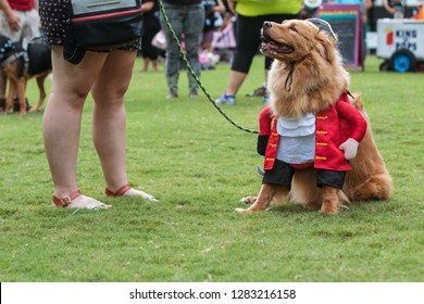 Atlanta, GA / USA - August 18, 2018:  A dog dressed in a pirate costume sits on the grass at the conclusion of  Doggy Con, a dog costume contest in Woodruff Park in Atlanta, GA.