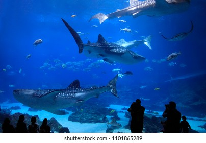 ATLANTA, GEORGIA, USA - DECEMBER 23, 2017: Visitors enjoying to see the four Whale sharks at Georgia Aquarium. It was the largest aquarium in the world from its opening in 2005 until 2012.