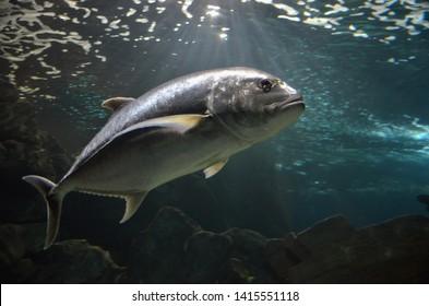 Atlantic bluefin tuna (Thunnus thynnus) underwater